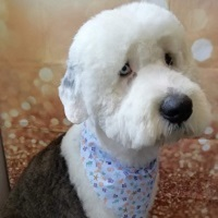 Munro Old English Sheepdog