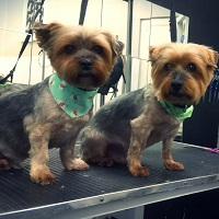 Ollie and Sandy Yorkies